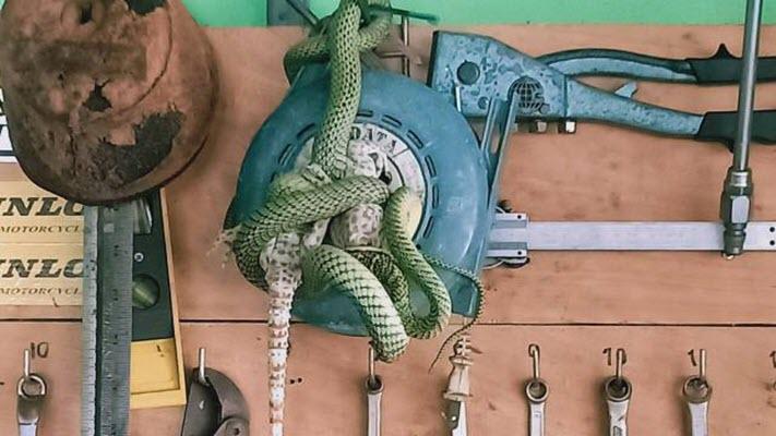 งูเขียวกินตับตุ๊กแก